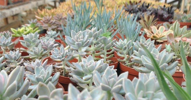 local love luecadia succulents